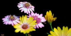 Bonne semaine Fleurie .