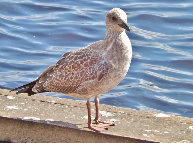 Herring Gull at Castle Semple Loch.