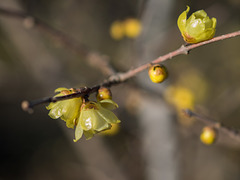 Wax plum