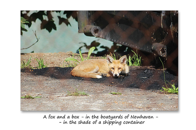 A fox and a box - Newhaven - 6.7.2015