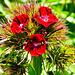 Bartnelken, Dianthus barbatus