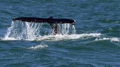Humpback whale, Skjálfandi