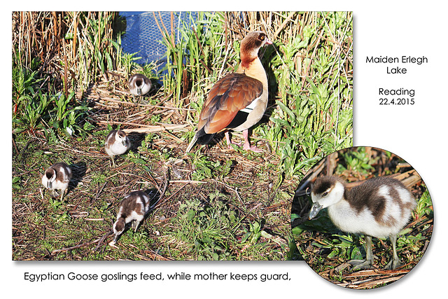 Egyptian Goose goslings - Maiden Erlegh Lake - Reading - 22.4.2015
