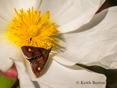 Mint Moth on flower