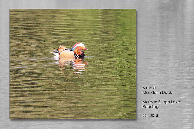 Male Mandarin Duck  - Maiden Erlegh Lake - Reading - 22.4.2015