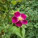 gdn - simple rose