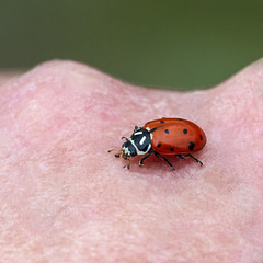 Convergent Ladybug / Hippodamia convergens