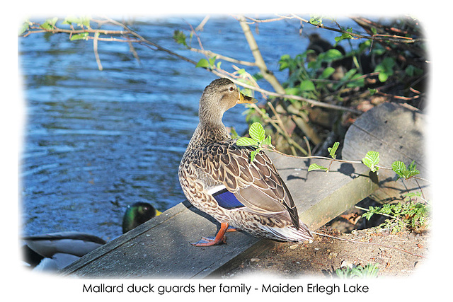 Mallard duck - Maiden Erlegh Lake - Reading - 22.4.2015
