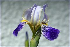 Iris ist Sitz