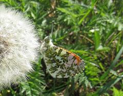 Zorzynek rzeżuchowiec - Auroro-papilio
