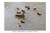 Mallards - Maiden Erlegh Lake - Reading - 22.4.2015