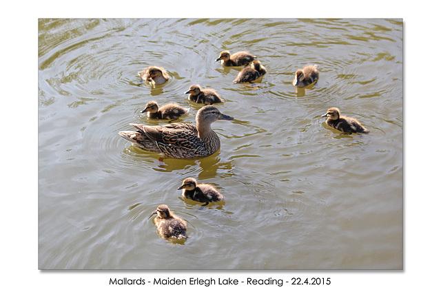 Mallards - Maiden Erlegh Lake - Reading - 22.4.2015