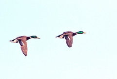 Mallards in flight.
