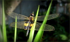 Yellow-striped flutterer also named Yellow-barred flutterer (Rhyothemis phyllis phyllis)...