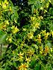 Fleurs de mon savonnier / Flowers of my soap tree [ON EXPLORE]