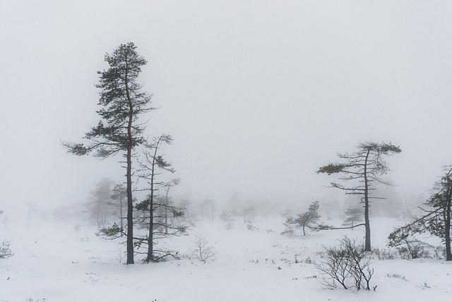 Moorbäume - 20150101