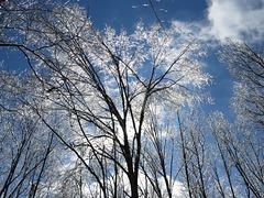Icy tree at sunrise