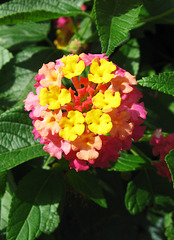 """Lantana camara"" by My Lovely Wife (Explored)"