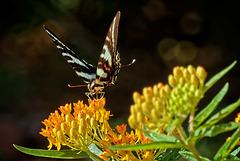 7092257 DxOdLL2 · Swallowtail butterfly