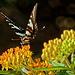 7092257 DxOdLL · Swallowtail butterfly