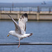 Gull photos, New Brighton (4)