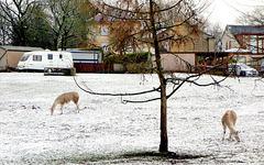 Snow Llamas.