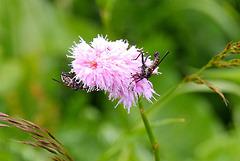 Ringelmücke auf einer Schlangen-Wiesenknöterich-Blüte