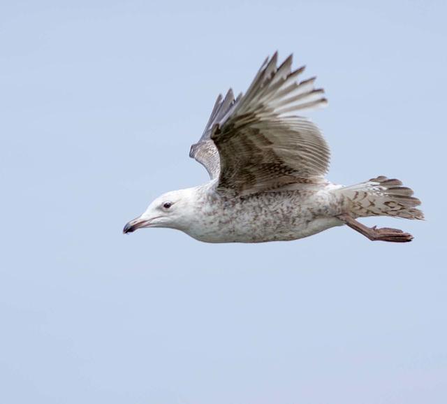 Gull photos, New Brighton