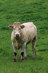 Rainy day cow