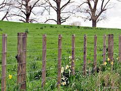 Flowers Along Farm Fence.