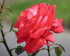 Cette rose pour le 1er du mois de Mars...