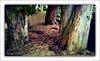 viejos eucaliptus