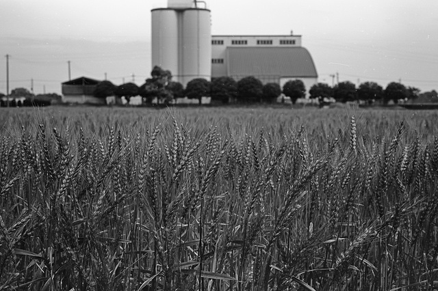 Wheat field and a rice factory