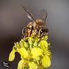 157/366: Honey Bee on Mustard Blossom