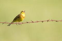"""Bruant jaune mâle s'entrainant pour """"the voice"""""""
