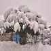 Schneemützenbaum