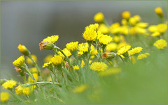 Coltsfoot ~ Klein hoefblad...
