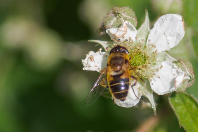 Honey Bee Mimic