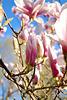 Magnolie im Frühjahr