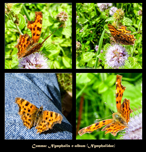 Comma; Nymphalis c-album (Nymphalidae)
