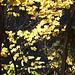 Herbstlaub bei Aumühle/ Sachsenwald
