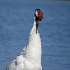 Day 3, Rare, ENDANGERED adult Whooping Crane, Aransas