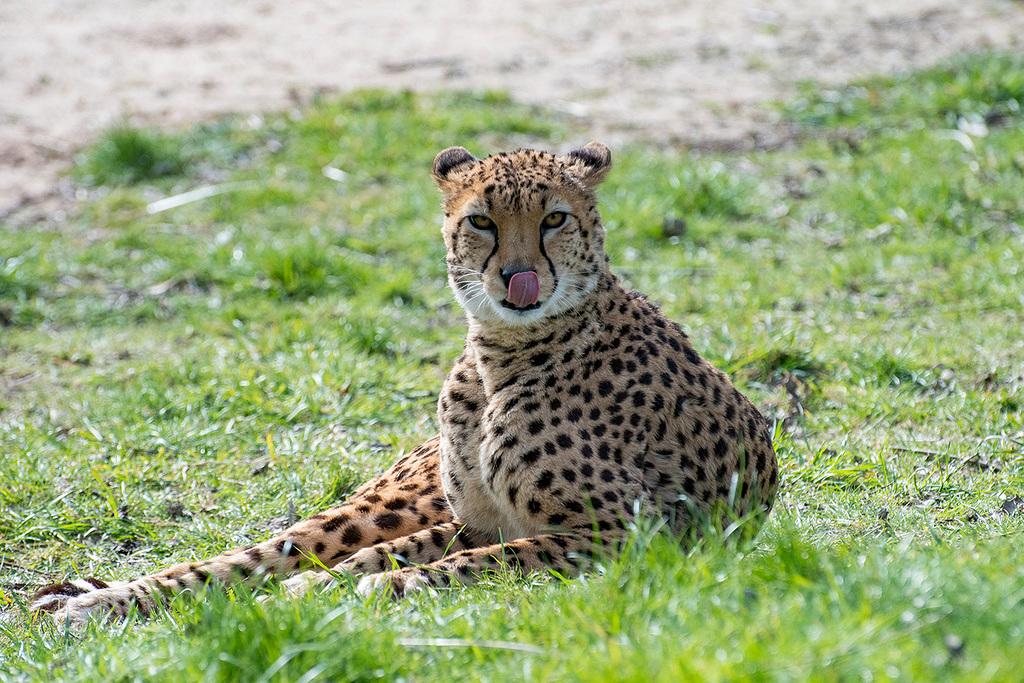 Cheetah6