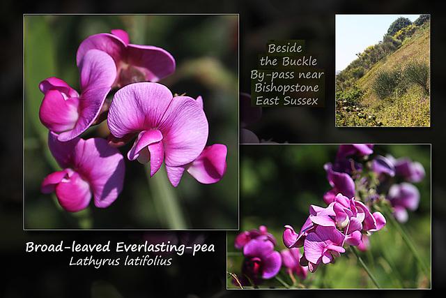 Broad-leaved Everlasting-pea - Bishopstone - 8.8.2015