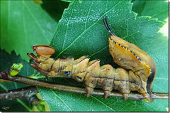 Chenille de Stauropus fagi.