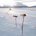 Stellaria crassifolia or Valeriana sambucifolia? Lapland, Norway