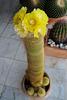 Notocactus leninghausii