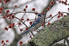 Blue jay, red leaves