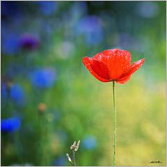...last poppy...