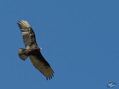Circling Turkey Vulture